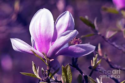 Ultra Violet Magnolia  Art Print