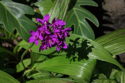 Photograph - Ultra Violet Orchid Cluster - Exotic Tropical Shadows by Georgia Mizuleva