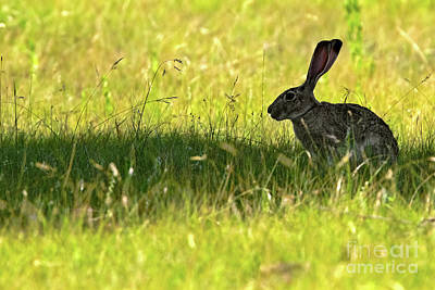 Photograph - Umbral Hare by Gary Holmes