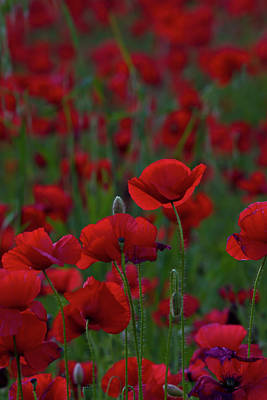 Photograph - Umbria  Poppies 2 by Roger Mullenhour