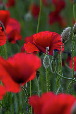 Photograph - Umbria Poppies by Roger Mullenhour