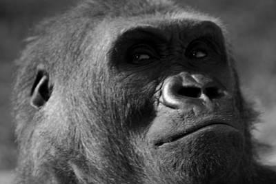 Gorilla Wall Art - Photograph - Undecided by Brad Scott