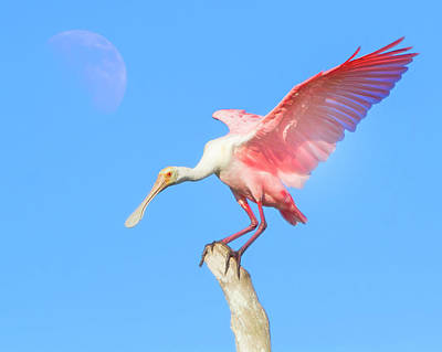 Photograph - Under A Spoonbill Moon by Mark Andrew Thomas