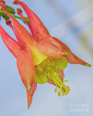 Photograph - Under A Wild Columbine by Barbara Bowen