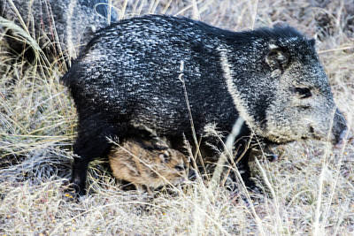 Photograph - Under Foot Javelina Mom And Babies by Renny Spencer