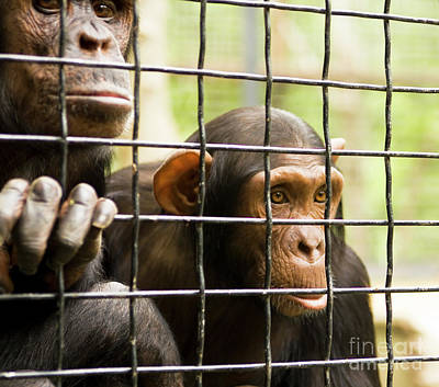 Photograph - Under Grating Looking For Freedom, Two Chimpanzee In Cave by Irina Afonskaya