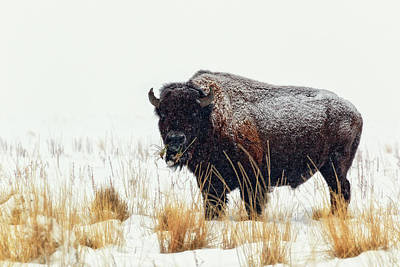 Bison Photograph - Under The Snow by Joan Escala