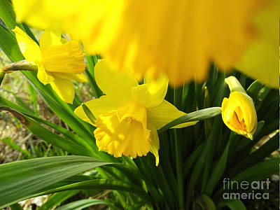 Photograph - Under The Yellow Daffodil by Robert Knight
