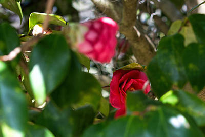 Photograph - Undercover Camellia by Ed Waldrop