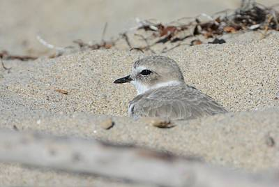 Photograph - Undercover Plover by Fraida Gutovich