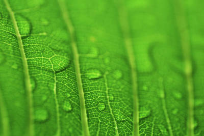 Photograph - Underside Of Wet Leaf by Larah McElroy