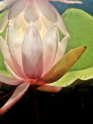 Photograph - Underwater Lily 1 by Lorella Schoales