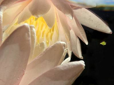 Photograph - Underwater Lily 4 by Lorella Schoales