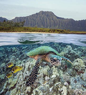 Undersea Photograph - Underwater Turtle by Dave Fleetham - Printscapes