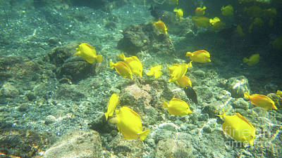 Photograph - Underwater Yellow Tang by Karen Nicholson