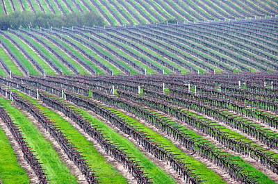 Undulating Vineyard Rows Art Print