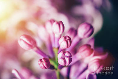 Photograph - Unfolded Bright Lilac Flower Buds In A Close-up. by Michal Bednarek
