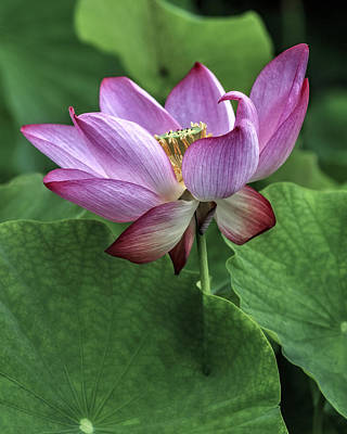 Photograph - Unfolded Lotus by Wes and Dotty Weber