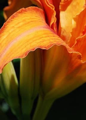 Daylily Wall Art - Photograph - Unfolding To Orange by Susan Capuano