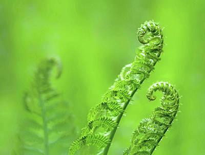 Photograph - Unfurling Fern Fronds by Carolyn Derstine