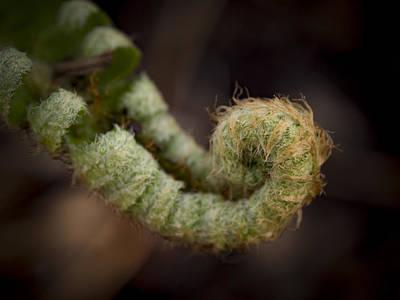 Fiddleheads Photograph - Unfurling Fiddlehead by Jean Noren