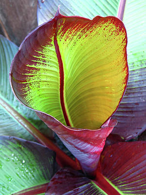 Photograph - Unfurling Red Banana Leaf  by Connie Fox