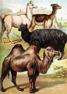 Llama Photograph - Ungulates by Biodiversity Heritage Library