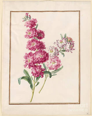 1780 Painting - Unidentified Pink And White Flowers by MotionAge Designs