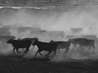 White Cattle Photograph - United States, Kansas Cattle Running by Keenpress