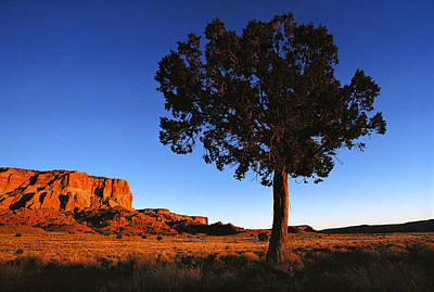 United States, New Mexico, Pine Tree Art Print