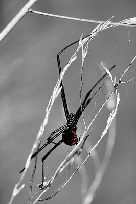 Black Widow Spider Photograph - Unmistakable  by JC Findley