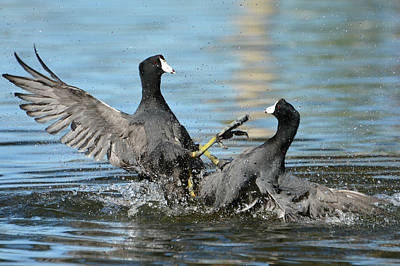 Coot Wall Art - Photograph - Unnecessary Roughness 3 by Fraida Gutovich