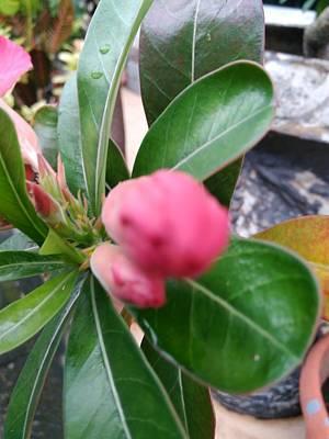 Photograph - Un Open  Rose by Sheila Mcdonald