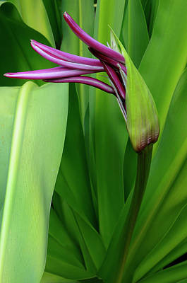 Costa Rica Photograph - Unopened Purple Crinum Lily Flower In A Tropical Garden Costa Ri by Reimar Gaertner
