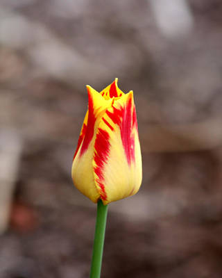 Photograph - Unopened Tulip by George Jones