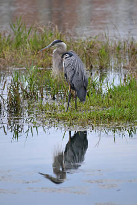 Photograph - Unperturbed Great Blue Heron - Ardea Herodias by rd Erickson