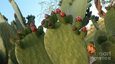 Photograph - Unprickly Prickly Pear Horizontal by Heather Kirk