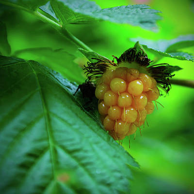 Photograph - Unripe Blackberry by Tikvah's Hope