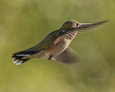 Photograph - Untitled Hum_bird_six by Paul Vitko