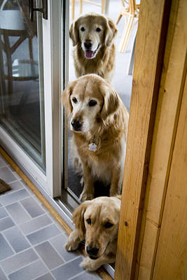 Golden Retriever Photograph - Untitled by Stephen St. John