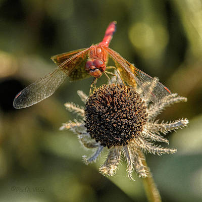 Photograph - Untitled_dragonfly_flower by Paul Vitko