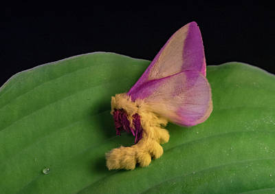 Photograph - Unusual Behavior Of Rosy Maple Moth by Douglas Barnett