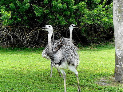 Photograph - Ostriches Optical Ilusion by Femina Photo Art By Maggie