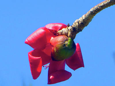 Photograph - Unusual Rubber Tree Bloom by Tina M Wenger