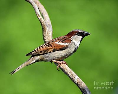 The Rolling Stones - Unwelcome House Sparrow by Cindy Treger