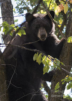 Black Bear Photograph - Up A Tree by Mike Dawson