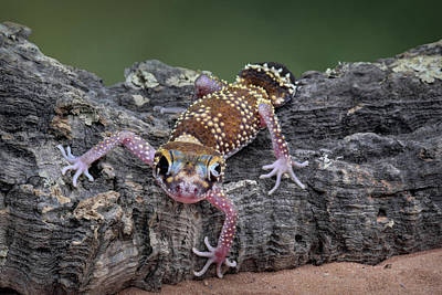Art Print featuring the photograph Up And Over - Gecko by Nikolyn McDonald