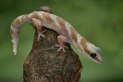 Photograph - Up And Over - Velvet Gecko by Nikolyn McDonald