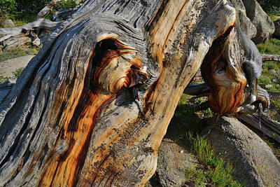 Photograph - Up Close And Personal With A Bristlecone Pine by Ray Mathis