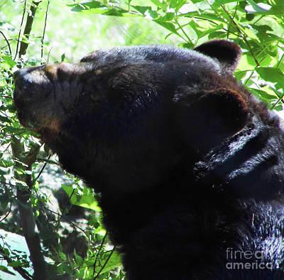 Photograph - Up Close Black Bear by D Hackett